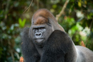 65030954 - portrait of lowland gorilla. republic of the congo.