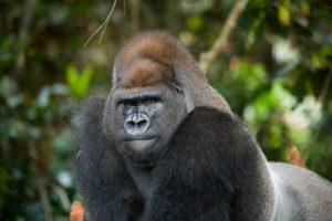 65030954 - portrait of lowland gorilla. republic of the congo.